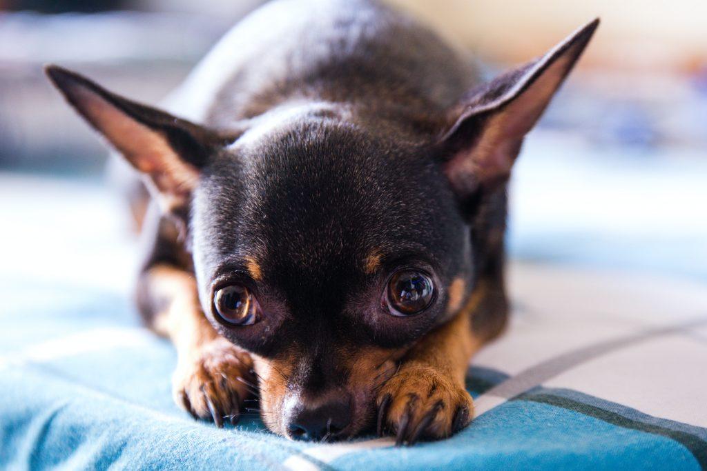 Chihuahua soorten, zwart met bruin