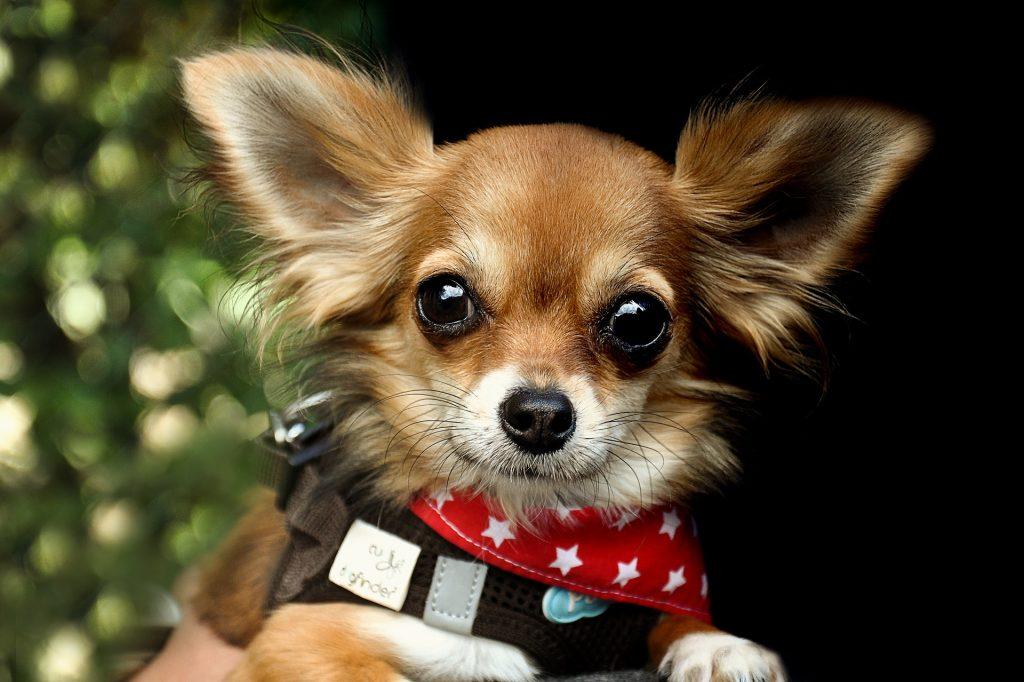 Bruin met witte poten Chihuahua hondje