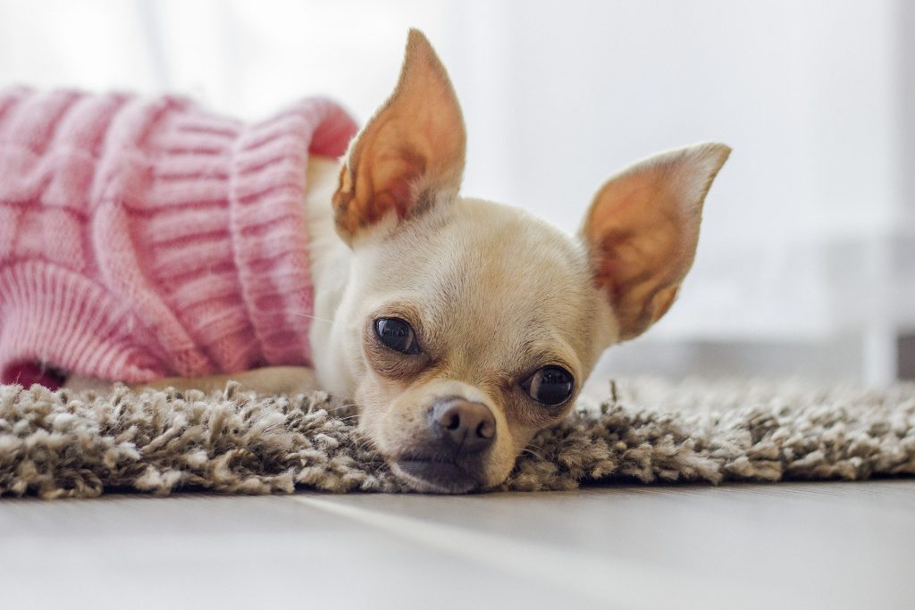 Korthaar Chihuahua met truitje