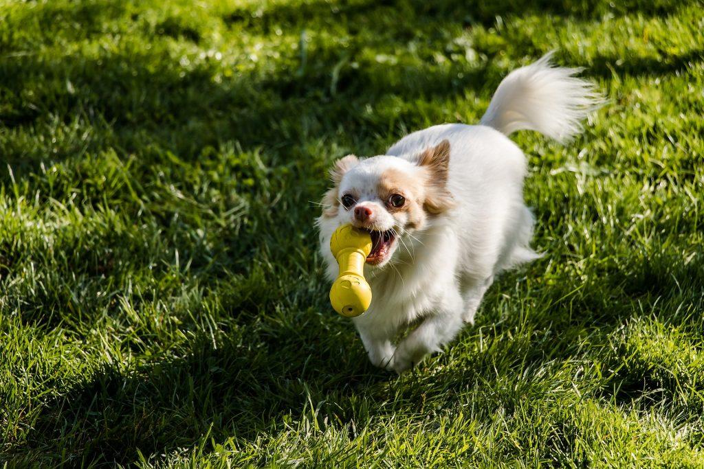 Karakter Chihuahua's