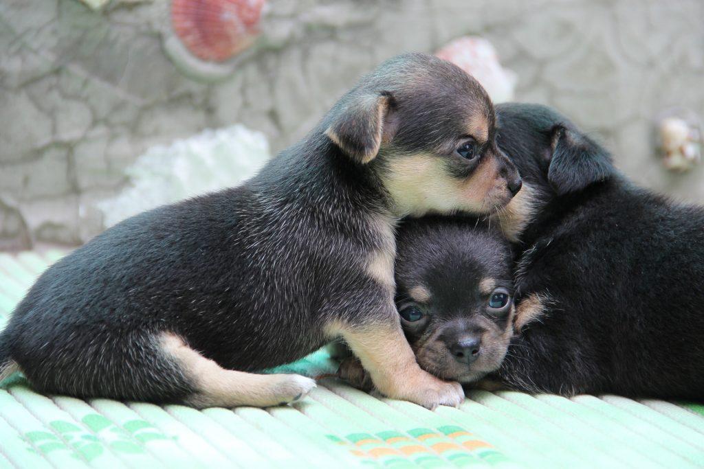 Chihuahua pup zindelijk maken
