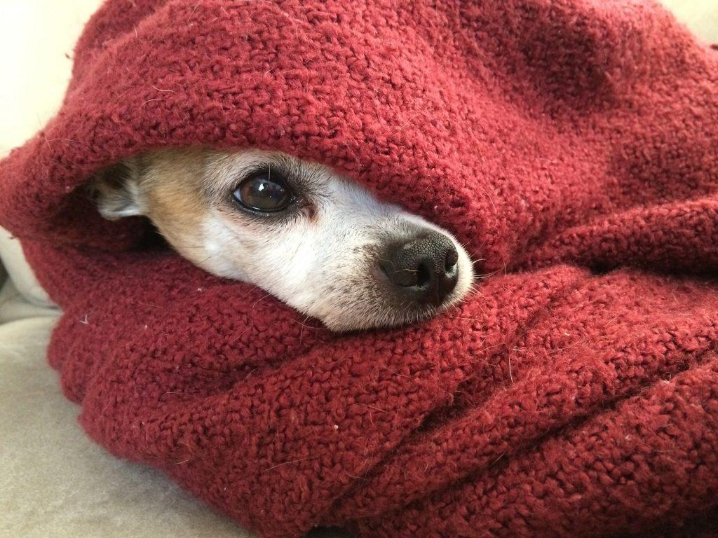 Chihuahua met rode dekentje