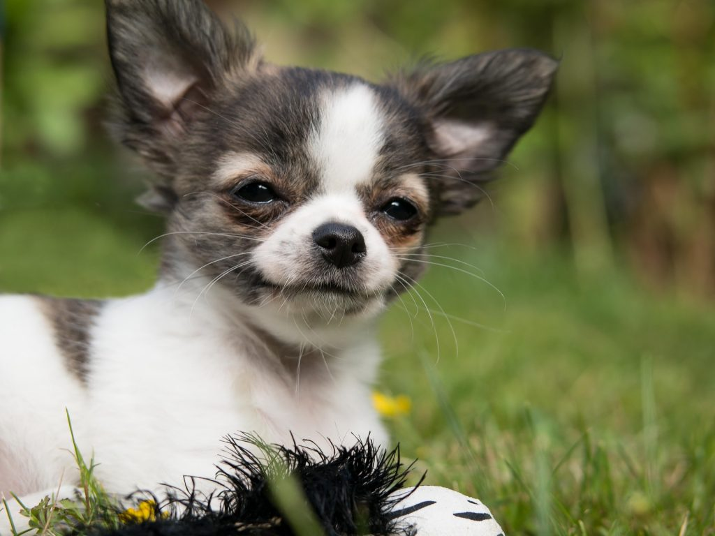 Chihuahua pup opvoeden