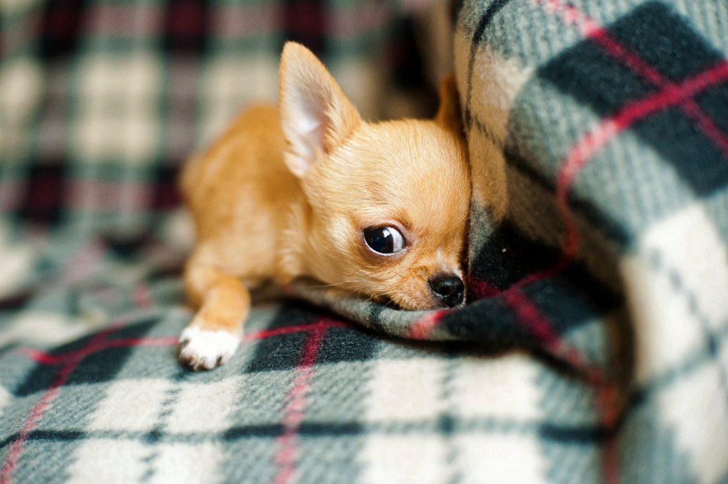 Chihuahua op de bank met kleed