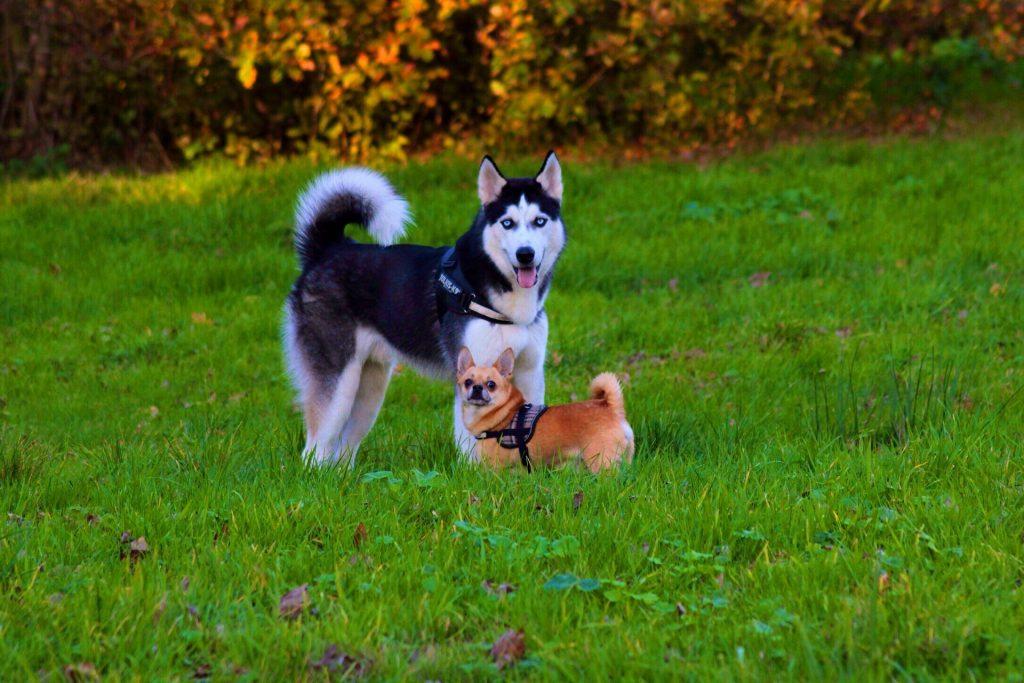 Chihuahua pup socialiseren met andere hond