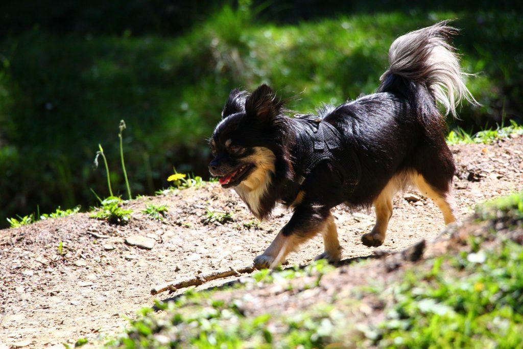 Chihuahua trainen