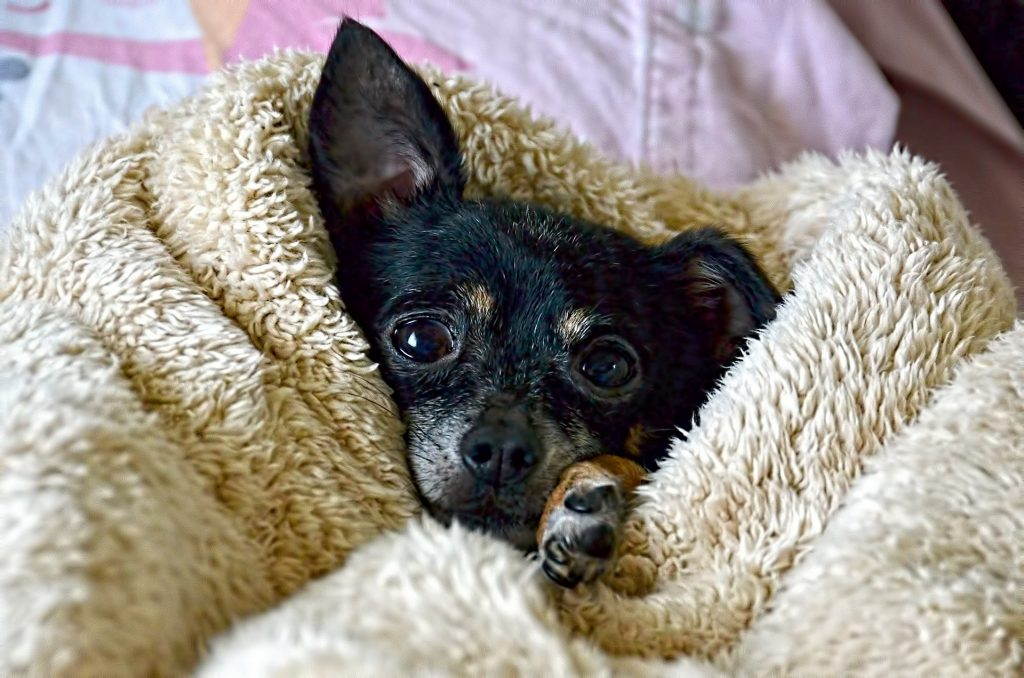Chihuahua afdrogen na wassen met Chihuahua shampoo
