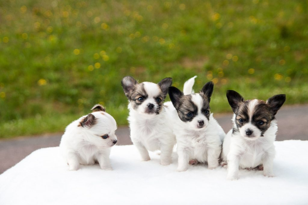 Chihuahua puppy nest