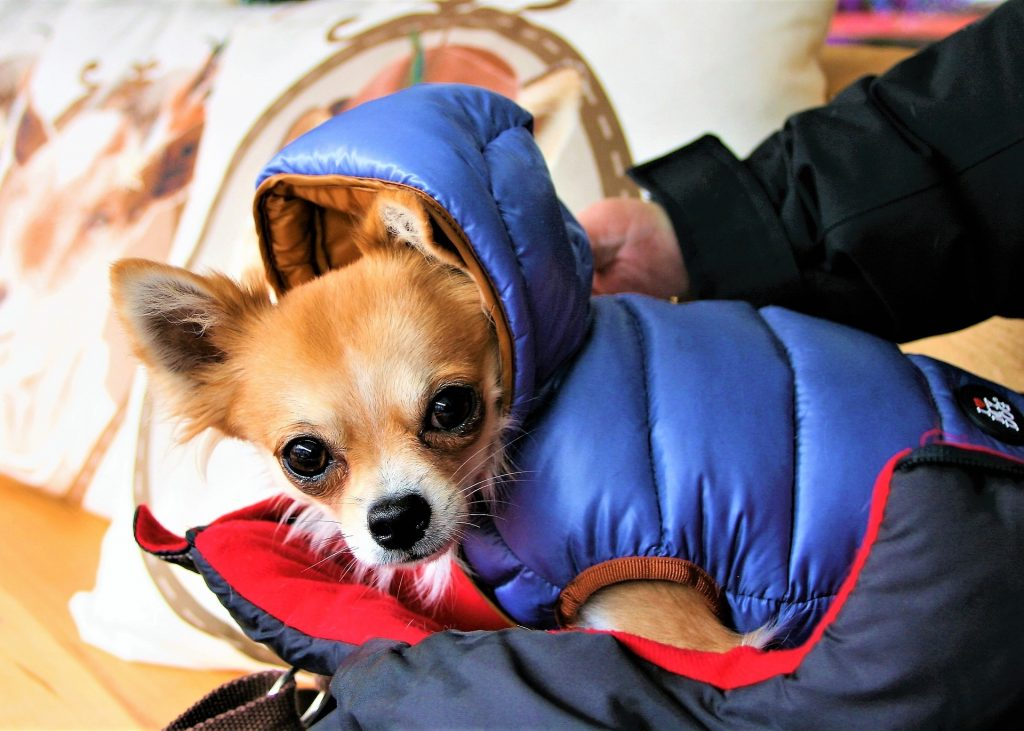 Chihuahua jasje. Hondenjasjes voor kleine honden.