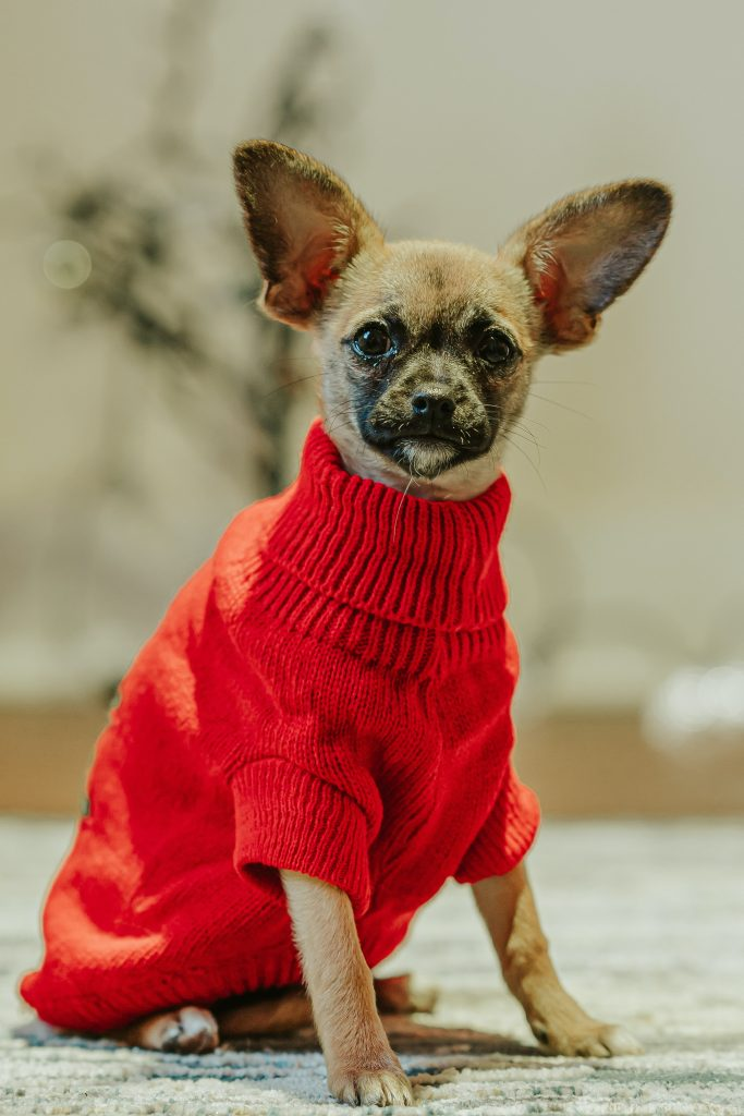 Chihuahua kleding. Hondenjasjes en hondentruitjes voor kleine honden.
