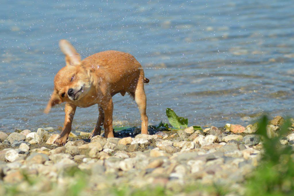 Koelmat voor Chihuahua